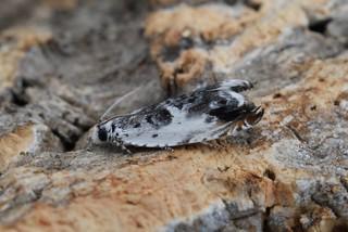 Ancylis laetana reared ex larva