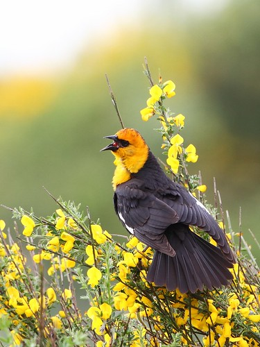 Yellow-headed Blackbird by tony y. h. tong