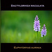 **DACTYLORHIZA** by coach48