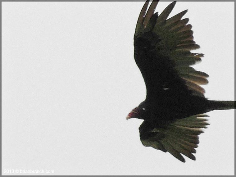 DSCN1758_vulture