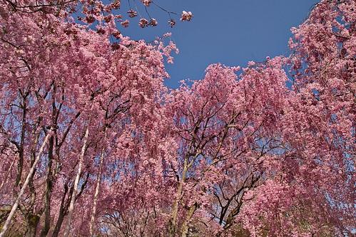 【写真】2013 桜 : 龍安寺/2020-01-22/IMGP9843