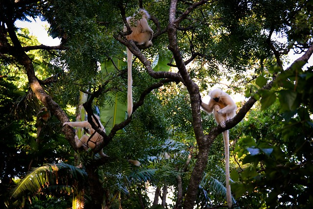 The golden langurs live in groups and are friendly to the people who come here.
