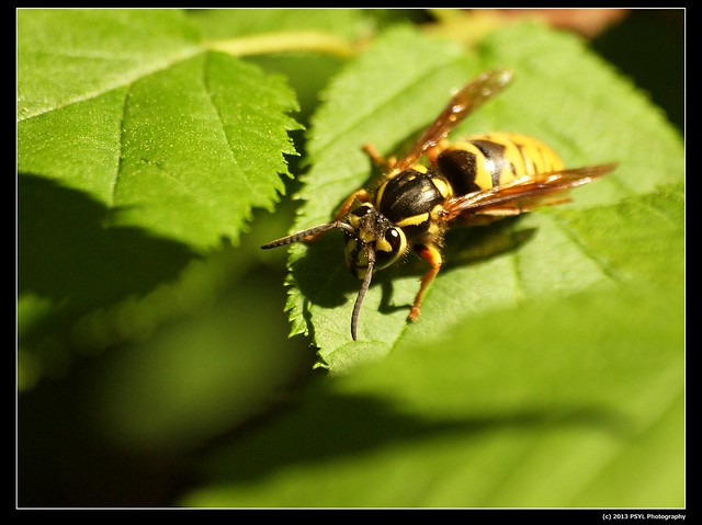 Unidentified Yellowjacket