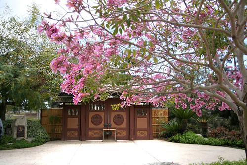 Japanese Garden San Diego Japanese Friendship Garden Cherry Blossom San Diego Japanese