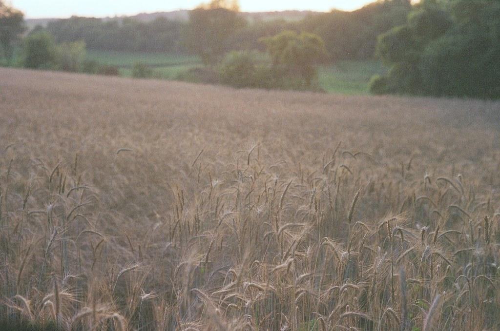 Genetically Modified Wheat in a Summer's Dusk II | Taken w