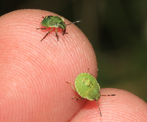 Green Shieldbug Nymphs 20040
