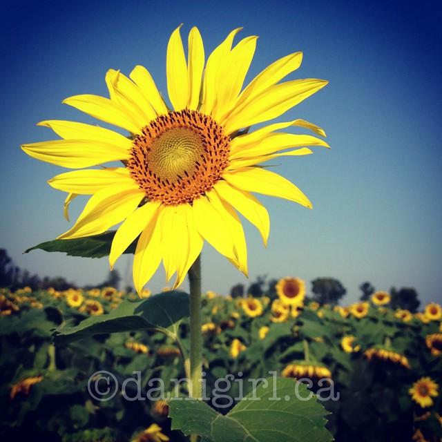 向日葵的照片
