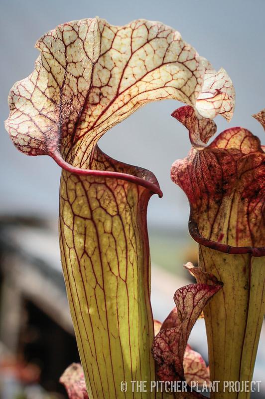 Sarracenia oreophila hybrid