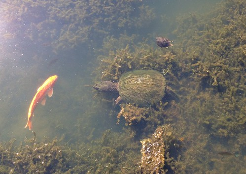 Carp and Snapping Turtle with Mossy Shell
