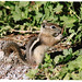 1st Place - Novice Prints - Richard Youngblood - Chipmunk