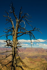 Arbre mort du Grand Canyon