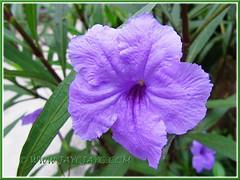 Ruellia simplex (Britton's Wild Petunia, Mexican Petunia/Bluebell), August 11 2013