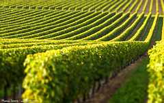 Cognac Vineyard - Photo of Meux
