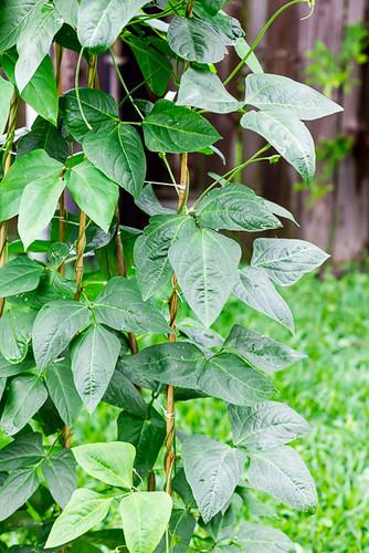 Asparagus Green Beans