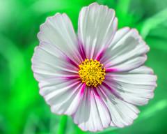 ****Cosmos  Floral Macro