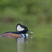 Fishing - Hooded merganser (m) by FollowingNature