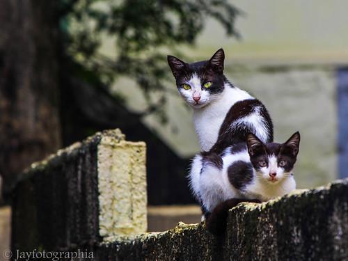 cat feliscatus pet animal jayasankarmadhavadas jayfotographia canoneos1200d canon eyes