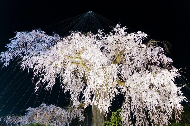 京都円山公園