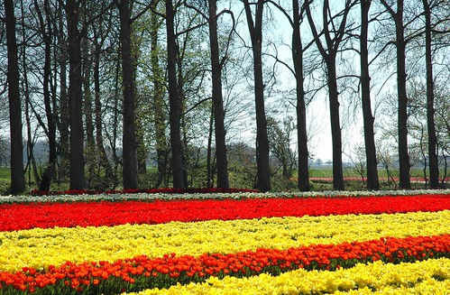 Spanish colours in a Dutch Tulip field