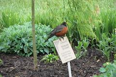Robin singing on flower garden sign