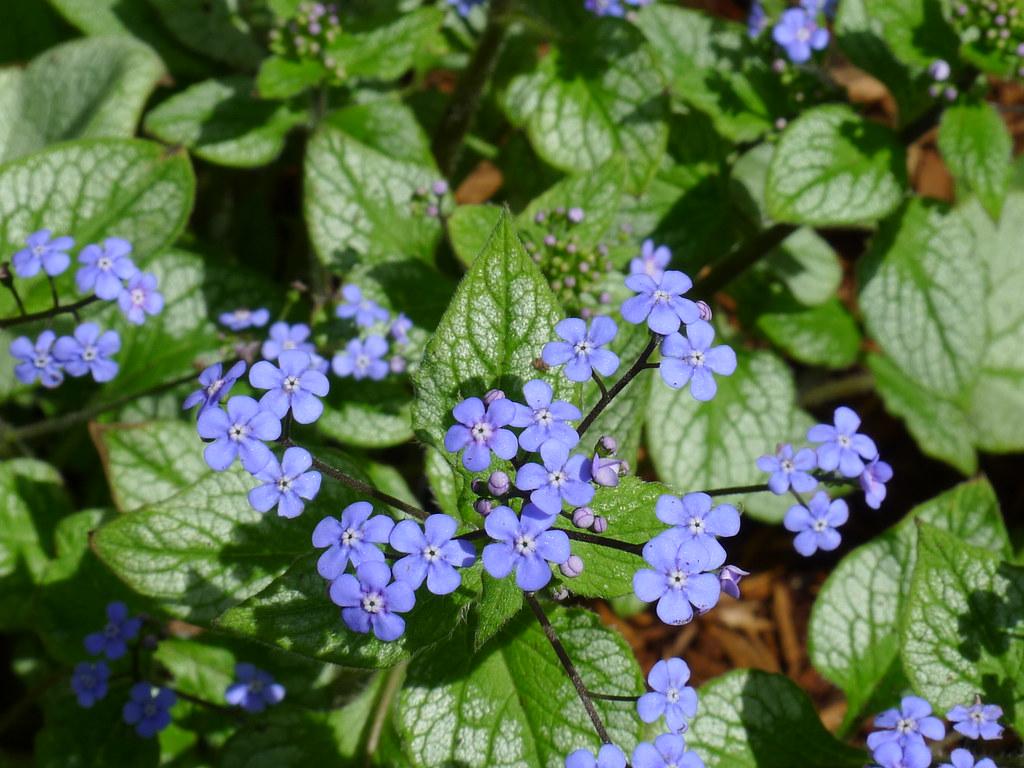 """20120413 Brunnera macrophylla """"Jack Frost"""""""