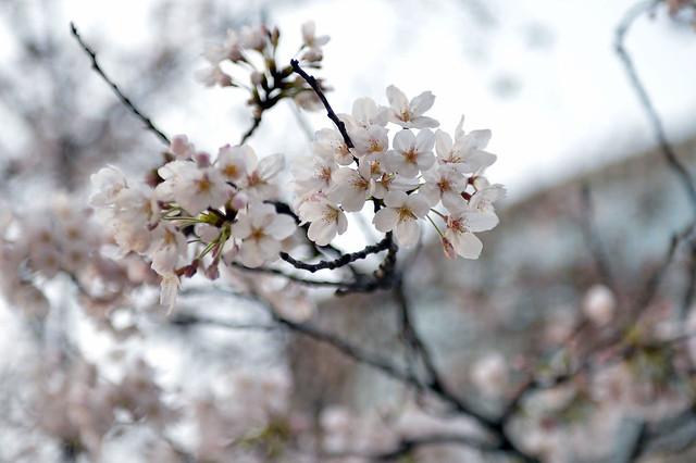 Sakura in Ginza