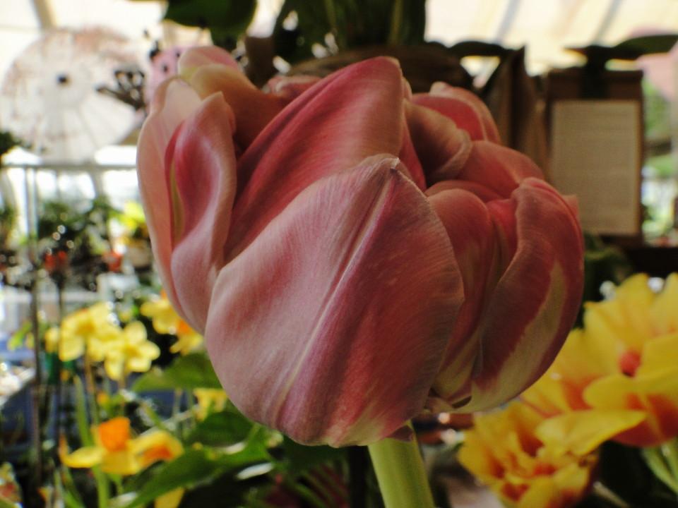 77-21apr12_4015_Botanical_garden_tulip