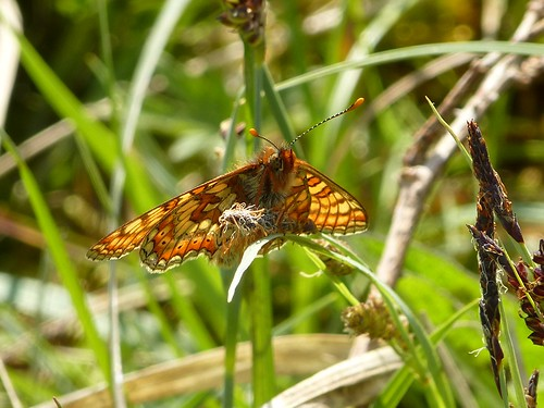 Marsh Fritillary by Linda Yarrow
