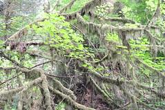 Mossy Limbs, Redwood National Park