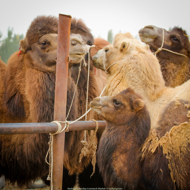 Bactrian Camels for sale inside the Sunday Livestock Market in Kashgar