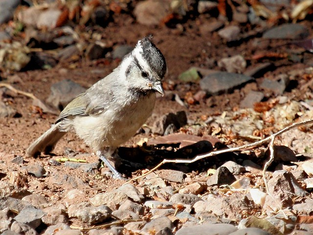 Bridled Titmouse 20130617