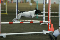 flyball(0.0), dog sports(1.0), animal sports(1.0), jumping(1.0), dog(1.0), sports(1.0), pet(1.0), hurdle(1.0), conformation show(1.0), dog agility(1.0),