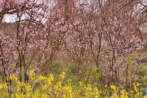 【写真】桜 : 原谷苑
