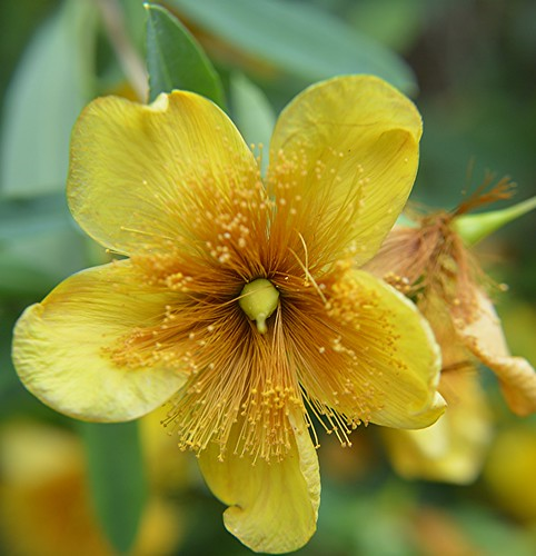 The abundant golden filaments of  Hypericum androsaemum by jungle mama