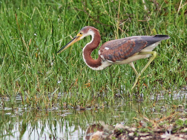 Tricolored Heron immature 2-20130721