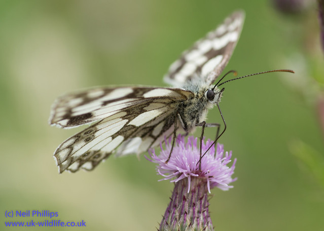 marbled white butterfly-7