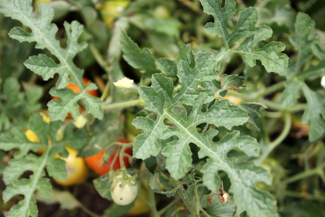 Healthy organic tomato plants