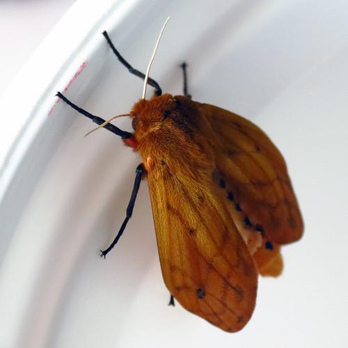 insect moth northcarolina westernnorthcarolina pyrrharctiaisabella pyrrharctia isabellatigermoth southernappalachians canonpowershotsx40hs