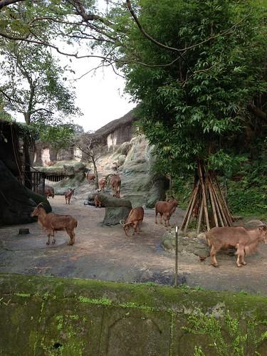 12非洲動物區_北非髯羊