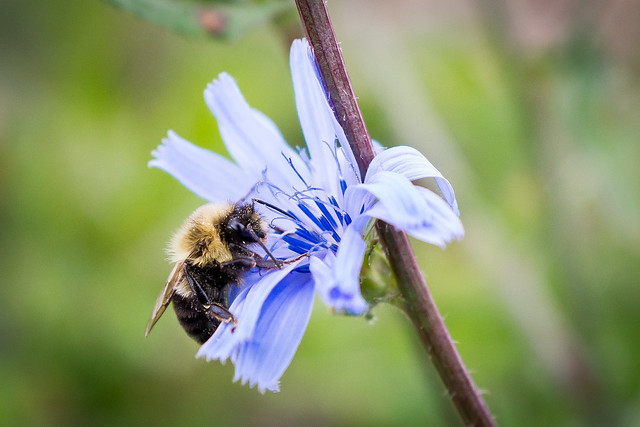 Bee, Bumble Bee, Macro, Close Up, Chicory, Flower