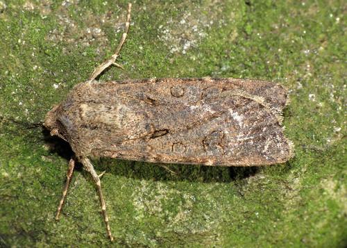 2087 Turnip Moth - Agrotis segetum