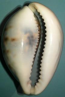 Identification Cypraeidae juvénile = cypraea tigris 10207852603_b88bf0a2fe_n