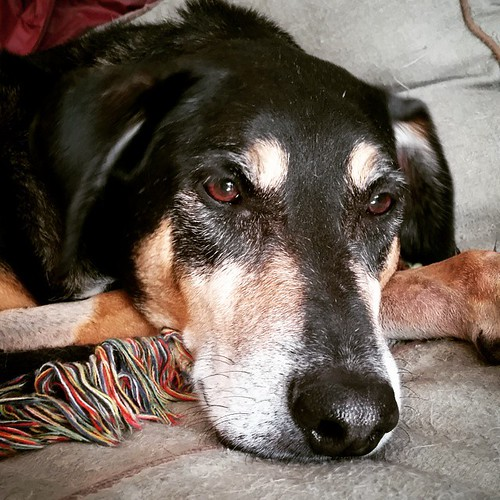 Tut gets his stitches out today!  #dogstagram #seniordog #coonhoundmix #muttsofinstagram #instadog #rescueddogsofinstagram #ilovemyseniordog