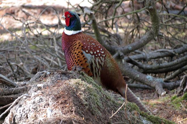 Pheasant, Brownsea Island