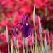 Purple Iris by ngawangchodron