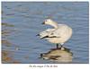 Oie des neiges X Oie de Ross / Snow Goose X Ross's Goose  153A9242