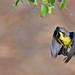 Purple Sunbird (Eclipse Male) by Anuj Nair