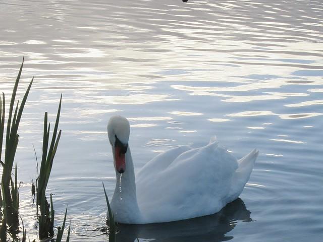 Swan, Canon POWERSHOT SX610 HS
