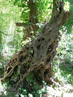 Tree - Alfabia garden