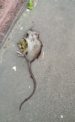 The last rat in San Francsico.